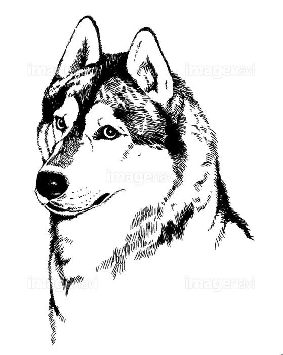 シベリアンハスキーの画像素材70110003 イラスト素材ならイメージナビ