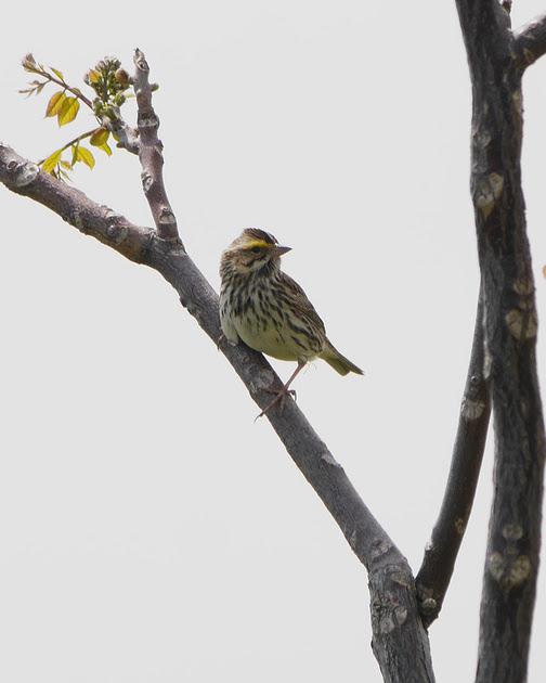 Ed Gaillard: birds &emdash; Savannah Sparrow, Randall's Island