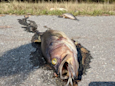 Dead fish cover North Carolina roads as flood waters recede after Hurricane Florence