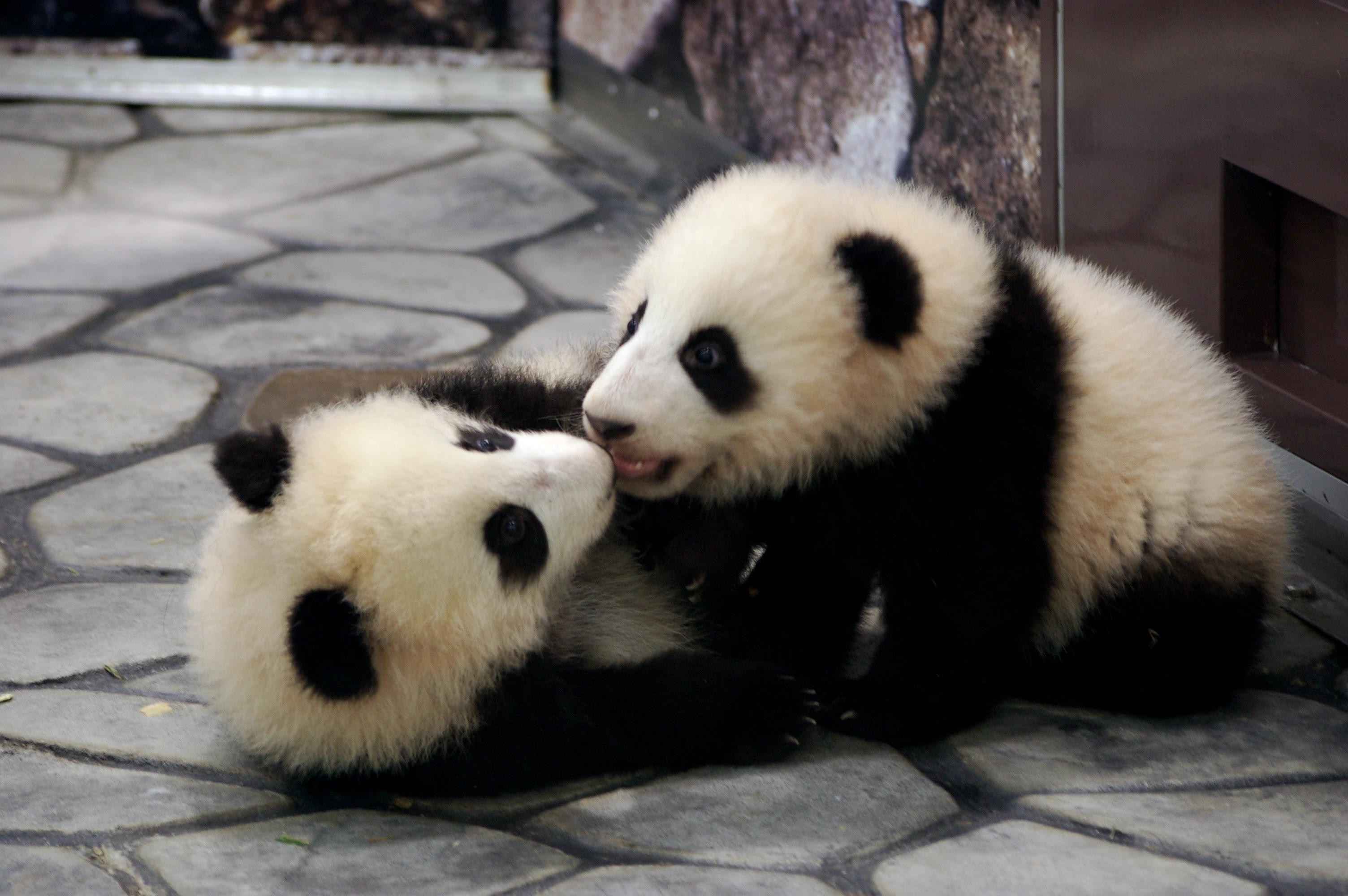 ジャイアントパンダgiant Panda素材 動物 無料素材フリー素材