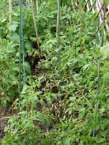 Tomaten 2009 (02)