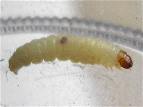 What Do Fly Maggots Look Like?   Colonial Pest Control
