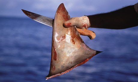 Fisherman holding knife and dorsal fin from hammerhead shark, close-up