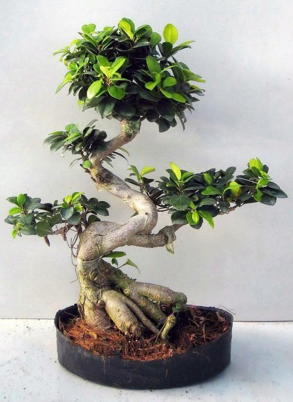 Per Entrare Nel Mondo Del Bonsai Il Ficus Ginseng Guida Giardino