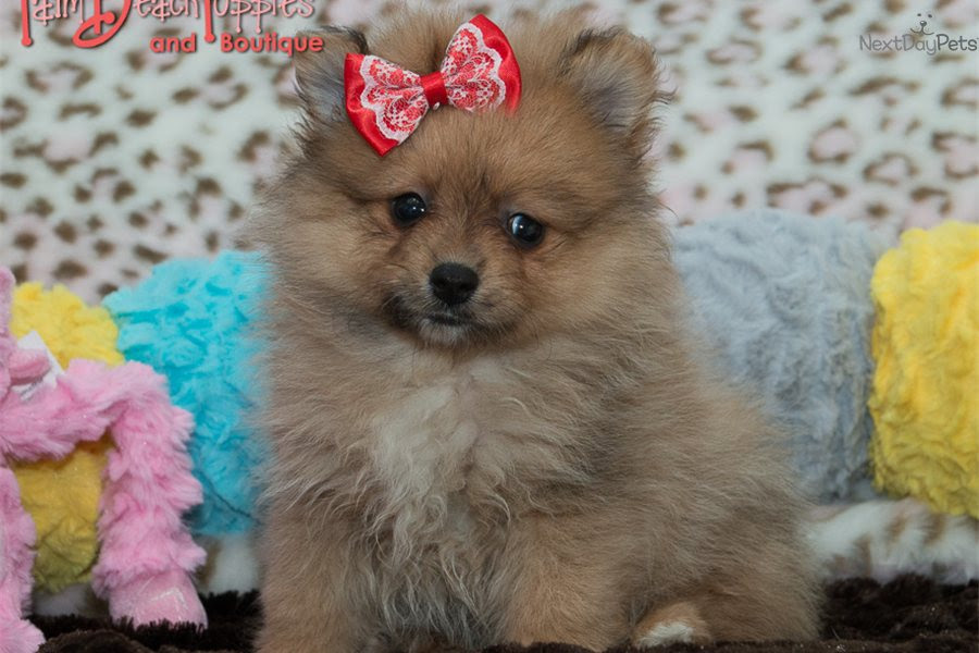 Pomeranian puppy for sale near North West South Africa