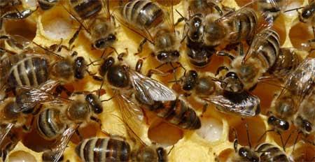 Los científicos descubren lo que está matando a las abejas
