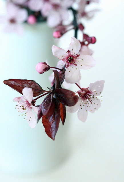 ornamental cherry