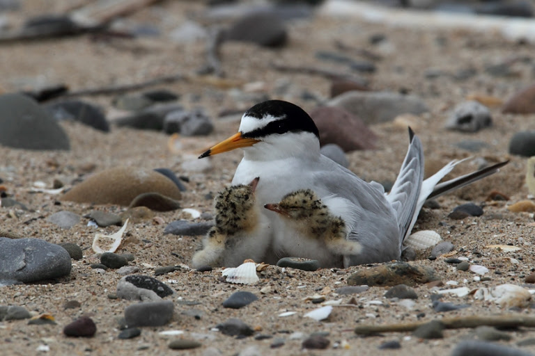 little tern brooding young