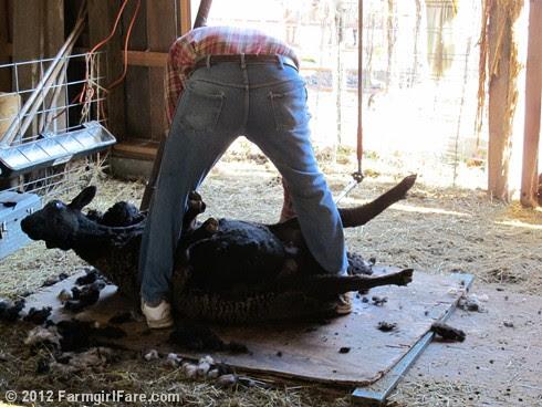 2012 Sheep shearing day 12 - FarmgirlFare.com