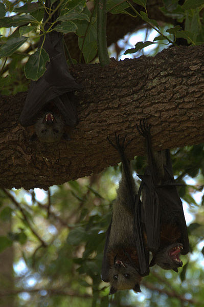File:Three juvenile grey-headed flying foxes suffering from heat stress.jpg