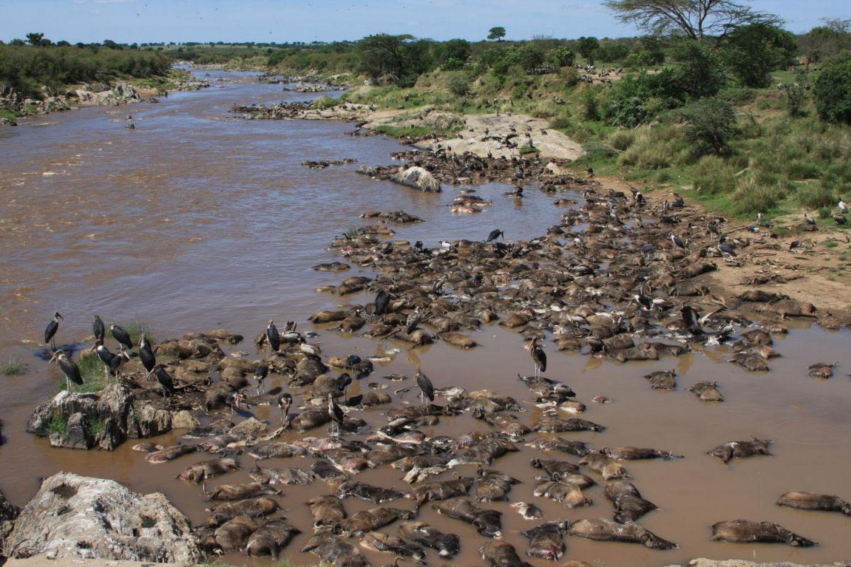 A morte que alimenta o rio Mara, no Serengeti