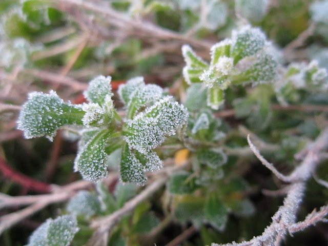 February frost 2013 002