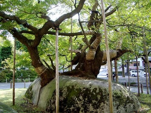 Ten Thousand Trees The Rock Splitting Cherry Tree