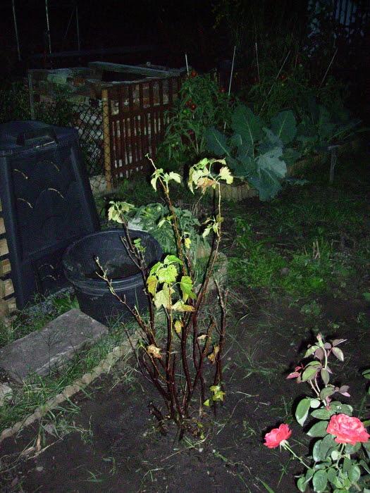 2006-08-20_schwarze_johannisbeere