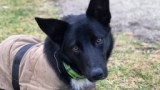 A black kelpie x border collie looking at the camera.