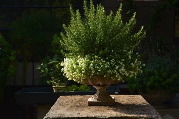 rosemary and alyssum
