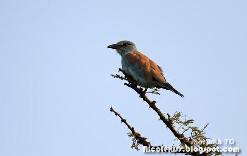 blue tip bird