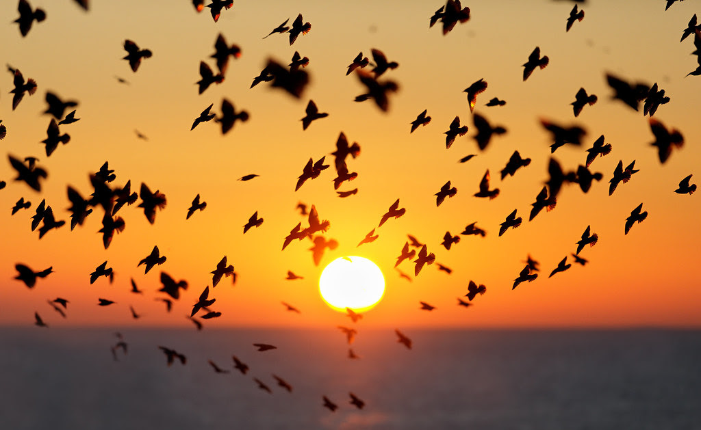 Starling Silhouettes, Brighton