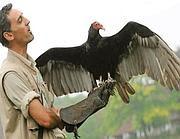 Uno degli avvoltoi «arruolati»
