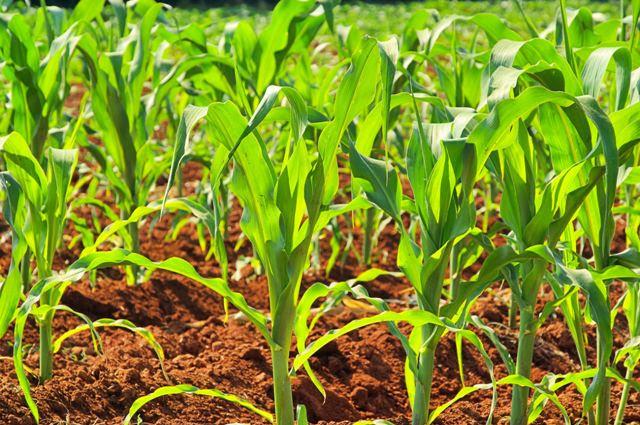 Recomenda-se plantar o milho-doce no espaçamento de 80 a 90 cm entre fileiras - CréditosShutterstock