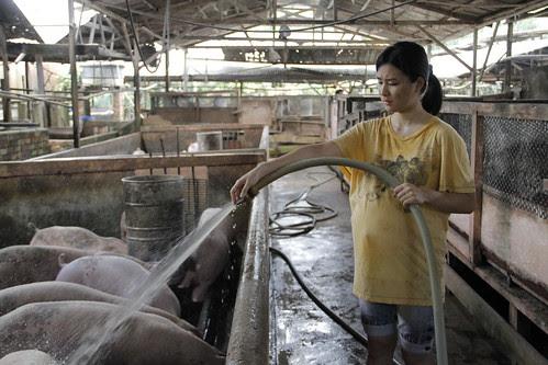 Preggers Ping (Lai Fooi Mun) bathing pigs in The Tiger Factory