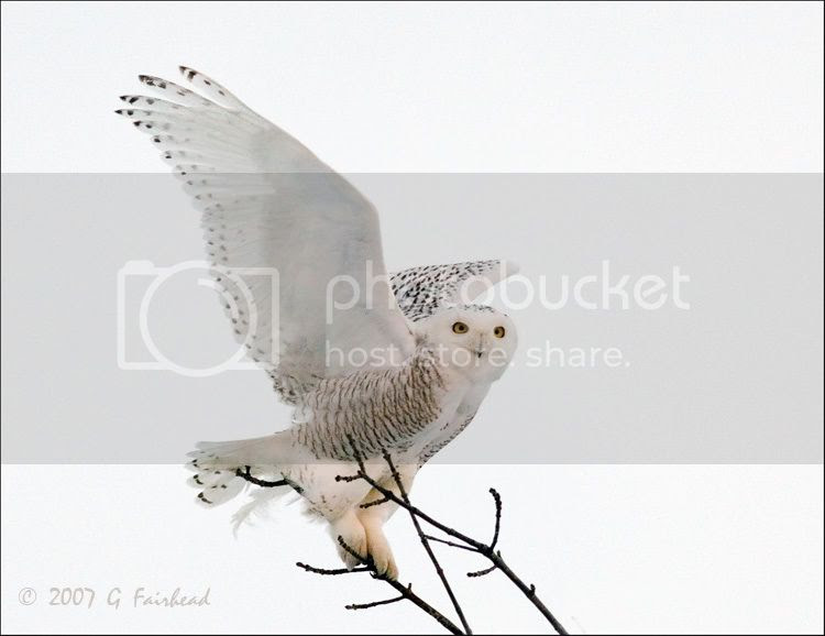 Snowy Owl With Wings Wide Open Birds In Photography On Thenet Forums