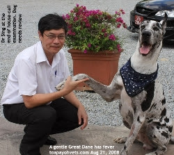 Tick fever. Great Dane 48 hours after treatment. Toa Payoh Vets