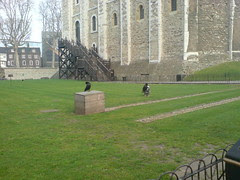 The ravens are still here!