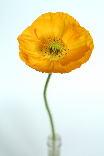 bright yellow poppy