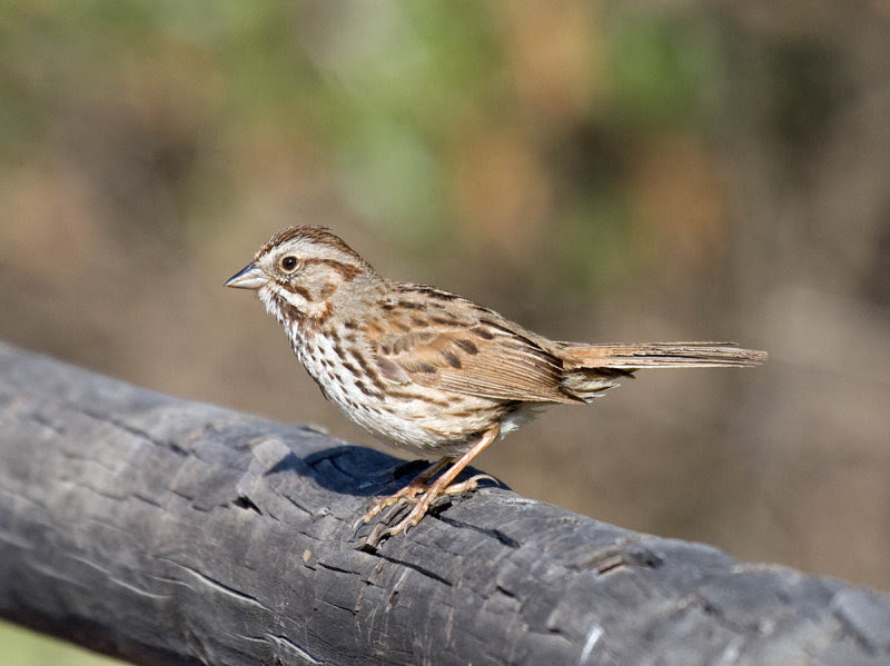 Heermann's Song Sparrow (Melospiza melodia heermanni)