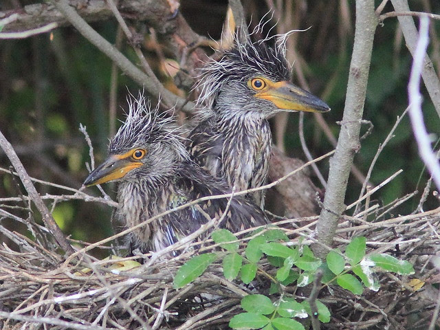 Yellow-crowned Night-Heron chicks nest 22 20130531