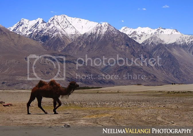 Bactrian Camel/ double hump camel