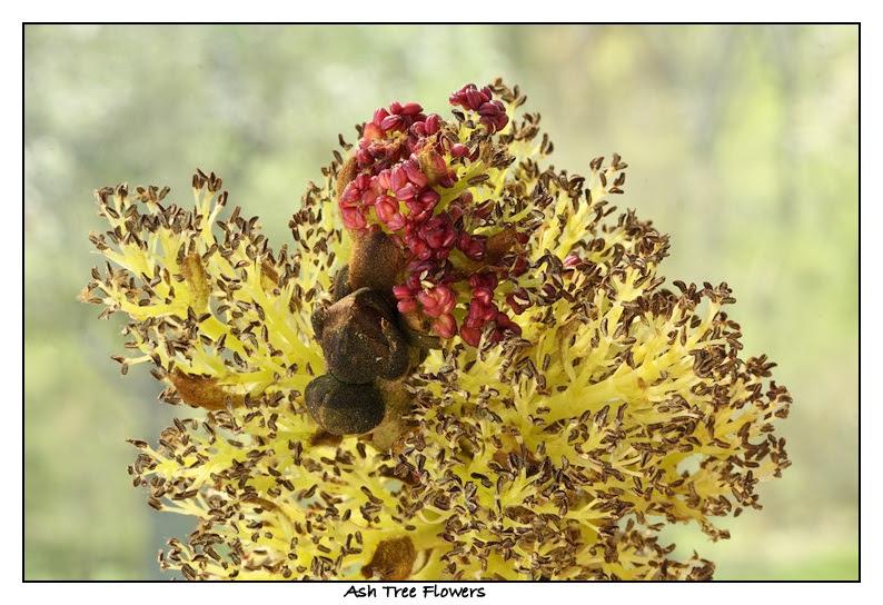 Ash Flowers