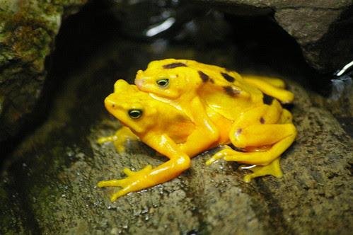 Yellow Frog in Oakland Zoo by Pentax DA 50-200
