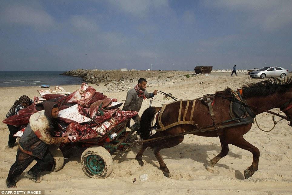 Στο δρόμο για την αγορά: Παλαιστινιακή μεταφορά των αλιέων αρκετές Manta Ray ψάρια που ξεβράστηκαν στην παραλία στην πόλη της Γάζας σήμερα