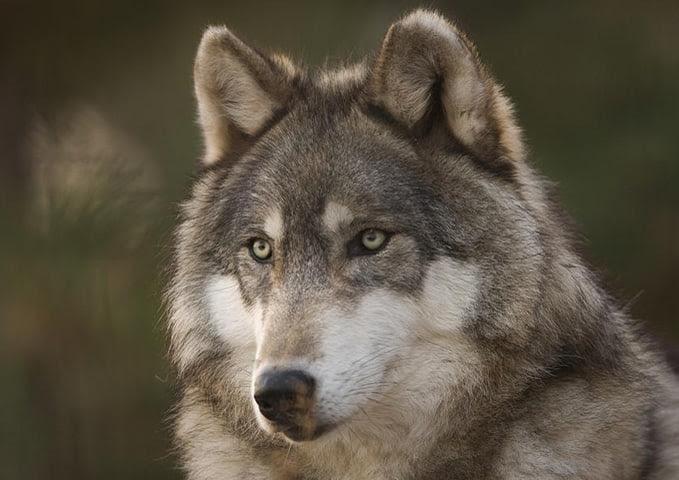 Que Comen Los Lobos Que Comen Los Animales