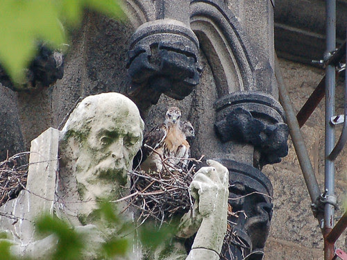 Red-Tail Nestlings