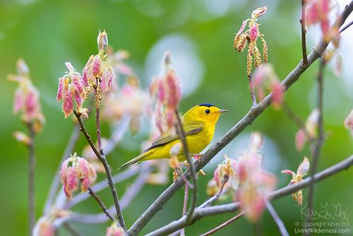 Wilson's Warbler, New Oak Leaves, Snohomish County, Washington