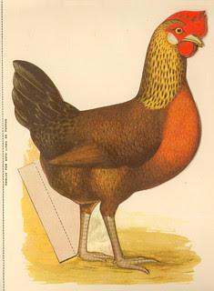 poule 02