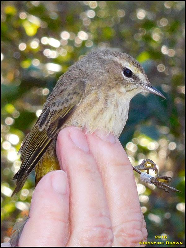 Western Palm Warbler