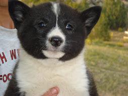 Karelian Bear Dog Female Puppy