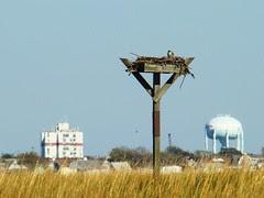 PEFA on Osprey nest