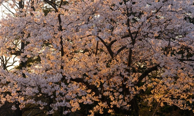 cherry blossoms in High Park, Toronto.