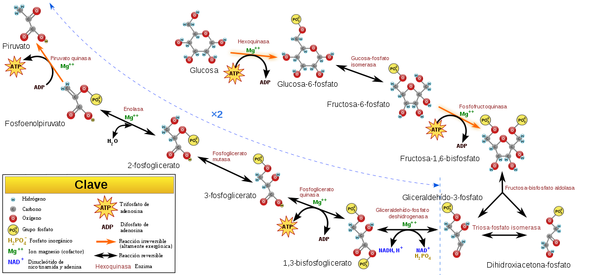 glucolisis proceso anabolico