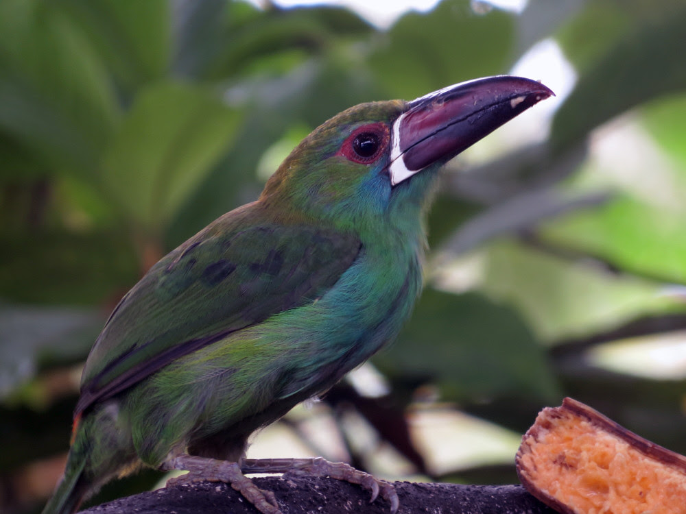 Red-rumped Toucanet