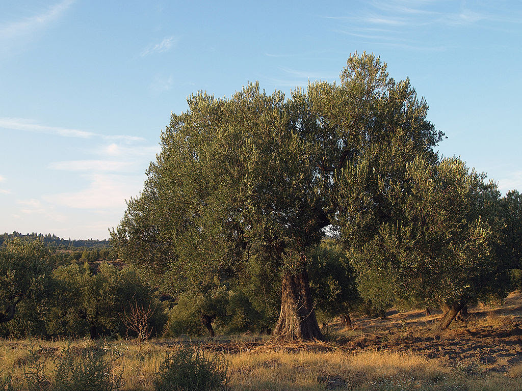 http://upload.wikimedia.org/wikipedia/commons/thumb/f/f7/OliveTreefromGreece.jpg/1024px-OliveTreefromGreece.jpg