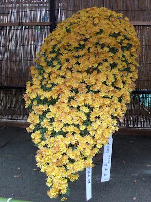 single Chrysanthemum plant with hundreds of small flowers, Jindai botanical garden, Tokyo Japan