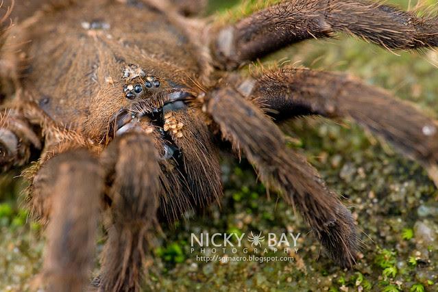Tarantula (Theraphosidae) - DSC_5184