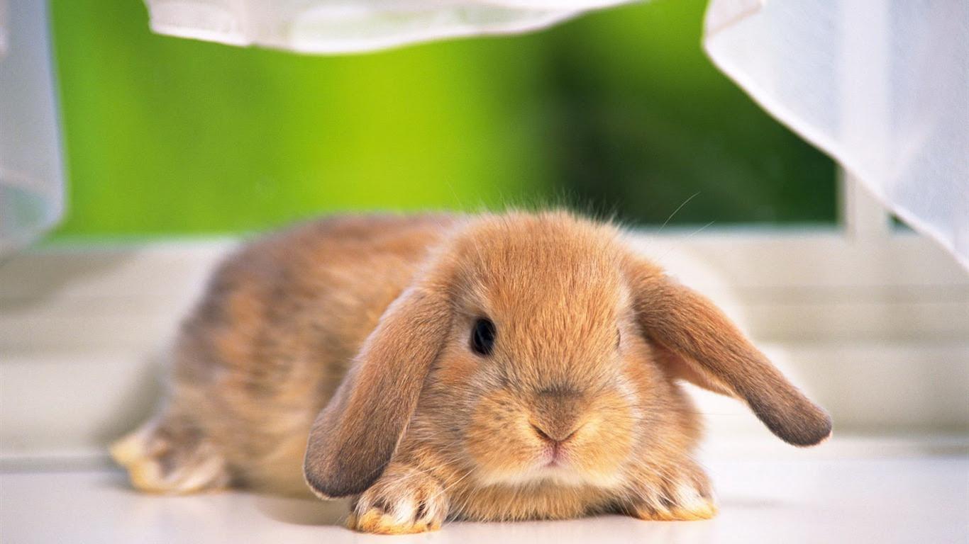 かわいいウサギの壁紙 14 1366x768 壁紙ダウンロード かわいい