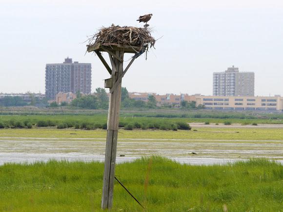 Ed Gaillard: birds &emdash; Osprey Nest, Jamaica Bay NWR
